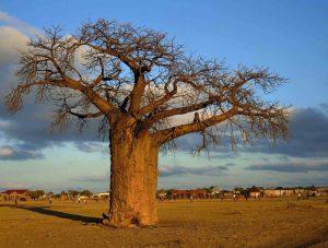 5 plantas y árboles característicos de la sabana - Baobad