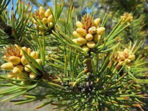 5 plantas y árboles característicos del Mesozoico - Gimnospermas