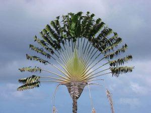 5 plantas y árboles característicos del océano Índico - Árbol del viajero o Ravenala