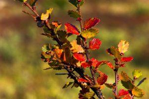 5 plantas y árboles característicos de la tundra - Abedul enano