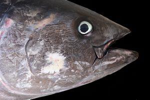 5 animales característicos del océano Atlántico - Atún rojo
