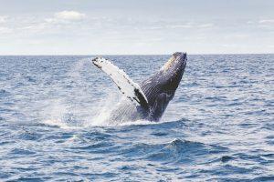 5 animales característicos de la zona austral - Ballenas jorobadas