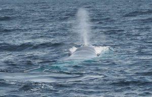 Cuántas especies de ballena azul hay