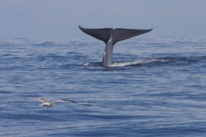 Dónde viven las ballenas azules