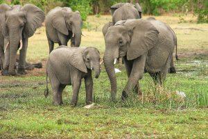 5 animales característicos de la sabana - Elefante
