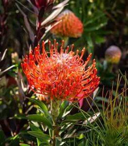 Fynbos de Sudáfrica