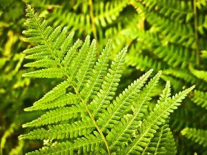 5 plantas y árboles característicos del clima oceánico - Helecho