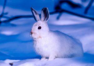 5 animales característicos del océano Ártico - Liebre ártica