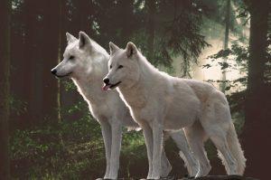 5 animales característicos de la tundra - Lobo ártico