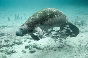 5 animales característicos del océano Atlántico - Manatí