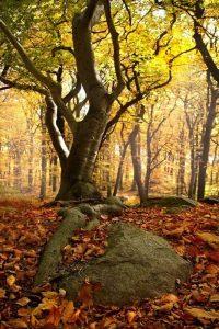 Qué características tiene el bosque de hayas