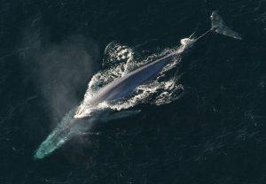 Qué características tienen las ballenas azules