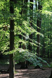 Qué es el bosque de hayas