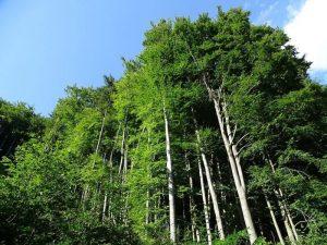 Qué flora predomina en el bosque de hayas
