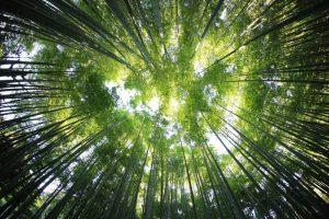 Qué flora predomina en el bosque ombrófilo