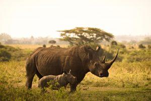 5 animales característicos de la sabana - Rinoceronte