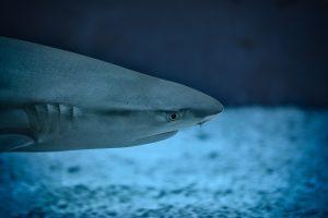 5 animales característicos del océano Índico- Tiburón azul