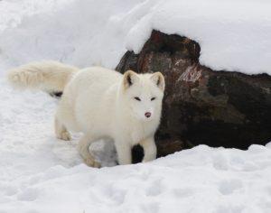 5 animales característicos del océano Ártico - Zorro ártico