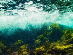 5 plantas características del océano Ártico - Algas marinas