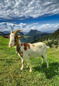 Qué fauna predomina en el clima alpino