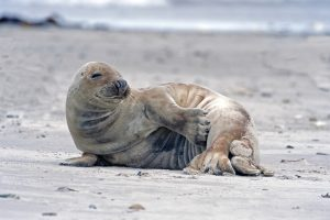 5 animales característicos del clima oceánico - Foca gris
