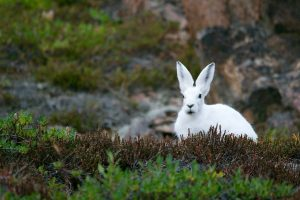 Qué fauna predomina en la tundra