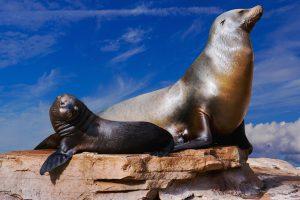 5 animales característicos del océano Antártico - Lobo marino de la Antártida