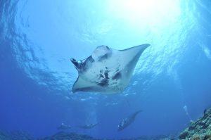 Qué fauna predomina en el océano Atlántico