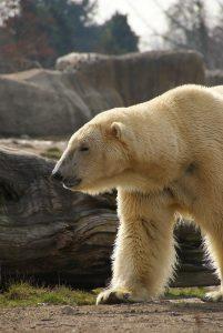 5 animales característicos de la tundra - Oso polar