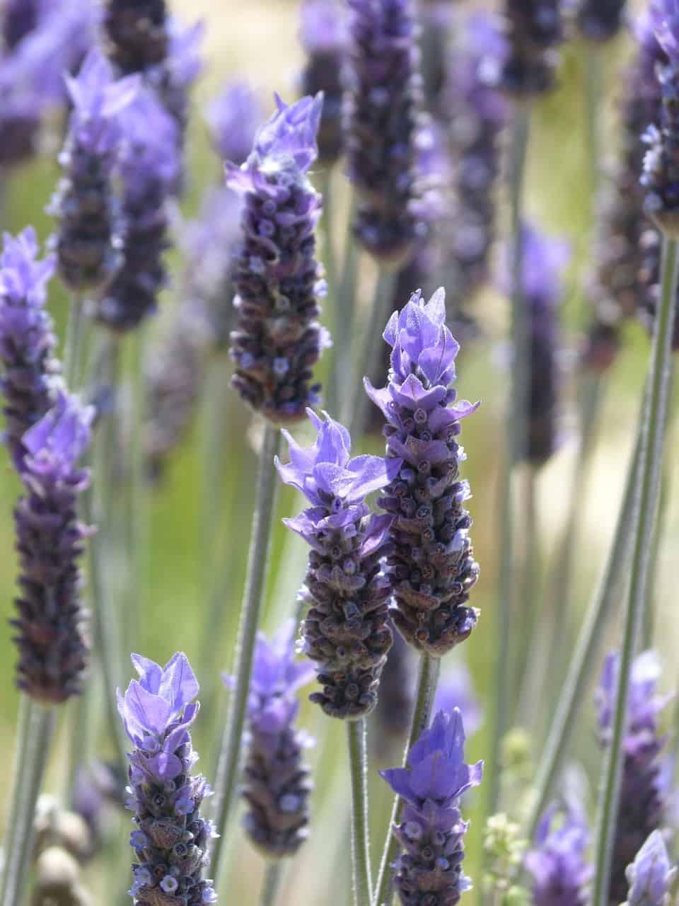 Qué ventajas tiene cultivar plantas aromáticas en nuestro jardín o huerto