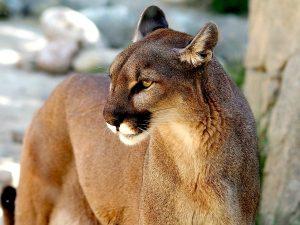 5 animales característicos de la zona austral - Puma austral