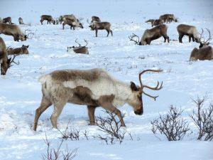 Qué fauna predomina en el océano Ártico
