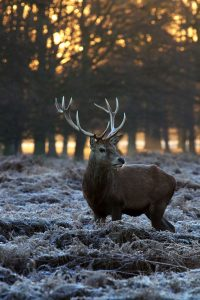 5 animales característicos de la tundra - Reno